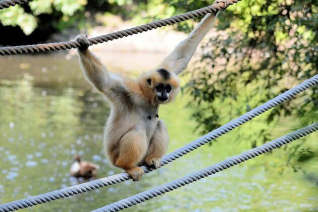 Monkey-in-Bokeo-Nature-Reserve in Laos
